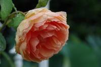 雨降る小さなローズガーデン - 季節の風を追いかけて