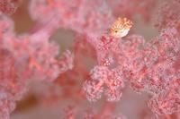 ぴんくな苺氷り - 潜りたおし