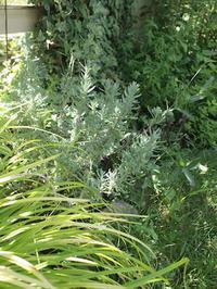 夏を乗り切った植物たち - コロニヘーヴ