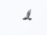 戦場ヶ原のかなたをノスリ舞う - コーヒー党の野鳥と自然 パート2