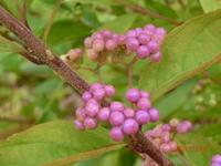 紫式部 - 家の周りの季節感
