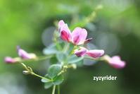 ハギの花接写 - ジージーライダーの自然彩彩