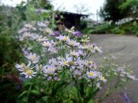 十五夜草 - ろりぽりの花