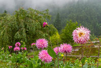両神山麓花の郷ダリア園 - デジカメ写真集