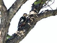 アカゲラ - 『彩の国ピンボケ野鳥写真館』