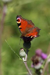やっと見つけたクジャクチョウ - 蝶超天国