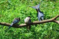 オナガの翼は素晴らしい!と思う♪ - 『私のデジタル写真眼』
