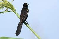 アフリカの鳥 キガタホウオウ - michikoの部屋