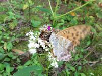 ミドリヒョウモン♂がツマグロヒョウモン♀へ求愛 - 秩父の蝶
