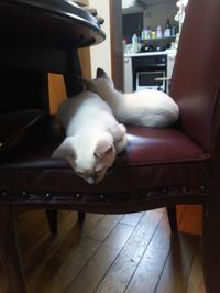 Tonkinese kittens of minkwin. - MINKWIN Cattery &Pretty Aki