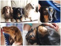 17年9月8日 マヨちゃんが遊びに来たよ♪ - 旅行犬 さくら 桃子 あんず 日記