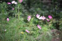 コスモスが咲く--北鎌倉東慶寺にて - くにちゃん3@撮影散歩