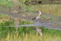 エリマキシギ - ごっちの鳥日記