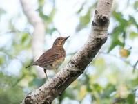 アカハラの幼鳥が元気 - コーヒー党の野鳥と自然 パート2