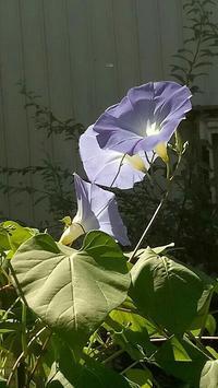 20170909 【植物】アサガオ - 杉本敏宏のつれづれなるままに