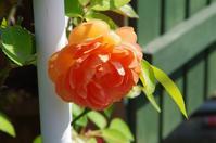 薔薇がまた咲き出した小さなローズガーデン - 季節の風を追いかけて