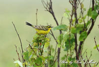 北の大地 遠征4日目「ツメナガセキレイ」さん~Σ^) - ケンケン&ミントの鳥撮りLifeⅡ