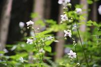 四季の花山歩 ~ 森の妖精にパルピテーション!  ~ - あんだんて♪の、人生の忘れものを探しに・・・