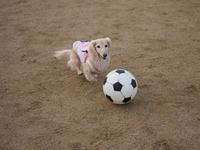 17年9月10日 グランドでサッカー⚽&ボール遊び♪ - 旅行犬 さくら 桃子 あんず 日記