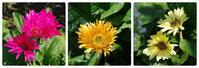 小さなローズガーデンに咲く草花たち - 季節の風を追いかけて