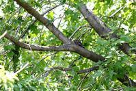 近くの公園にヨタカが・・・ - 一期一会の野鳥たち