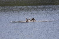 ミサゴの狩りは (惜しかった) - 私の鳥撮り散歩