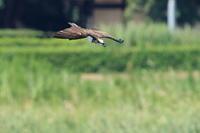 ミサゴ 今季、初撮りは空振りから - 気まぐれ野鳥写真
