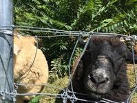 羊たち、かぼちゃ が食べたいらしい - オーガニックな日々