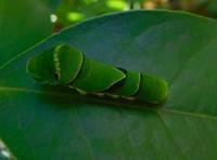 ナミアゲハの青虫君 - うまこの天袋