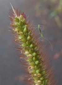 『穂上の亀虫』 姫糸亀虫 Metacanthus pulchellus - 自然感察 *Nature * feeling*