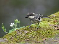 ヒガラの若鳥 - コーヒー党の野鳥と自然 パート2