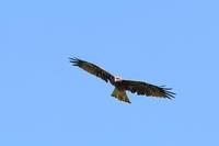 近くを飛んでくれたのは トビ - 野鳥公園
