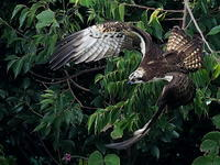 ミサゴ - 気ままな野鳥観察