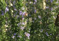 ローズマリー開花シーズン1回目  ・・何回咲くかな? - みつばちとニュージーランドで暮らす PicoMiere