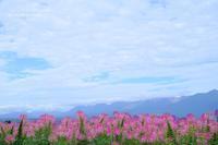 クレオメ@北海道 - カメラをもってふらふらと