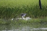 雨の日の田んぼ巡りで(オオタカ) - 私の鳥撮り散歩