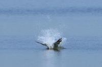 ミサゴ 空振りの後 - 気まぐれ野鳥写真