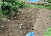 ブロッコリーとカリフラワーの植え付け - 光さんの日常