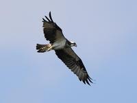 ミサゴの狩り - 『彩の国ピンボケ野鳥写真館』