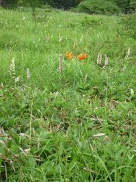 ギボウシ - 野の花