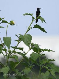 キガタホウオウ - 雅郎の花鳥風月
