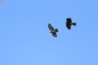 ノスリ 逃げる - 野鳥公園