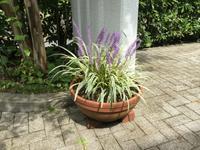 秋告草 A Plant Telling the Beginning of Autumn - my gallery-2