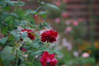 秋の薔薇が咲き始めた小さなローズガーデン - 季節の風を追いかけて