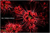 彼岸花2017 #002 - 紅い花火 - - ルリビタキの気まぐれPATA*PATA