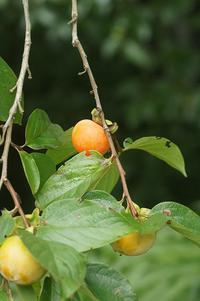 柿 - ネコと裏山日記