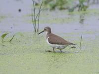 水鳥 - 『彩の国ピンボケ野鳥写真館』