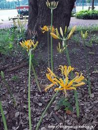 咲き始めの曼珠沙華 - 丁寧な生活をゆっくりと2
