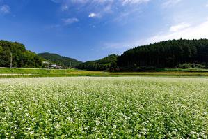 犬甘野の蕎麦畑 - 花景色-K.W.C. PhotoBlog