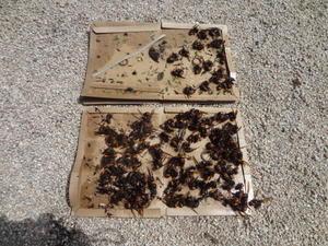 オオスズメバチ。 - 鑑定士ハチの部屋